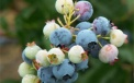 Maturing fruit of American blueberries
